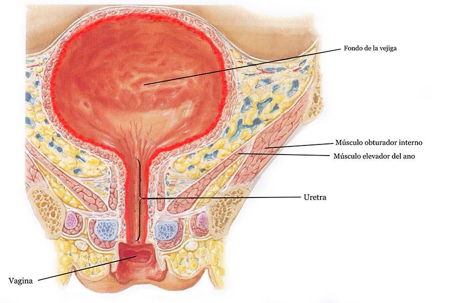 cistitis intersticial anatomia