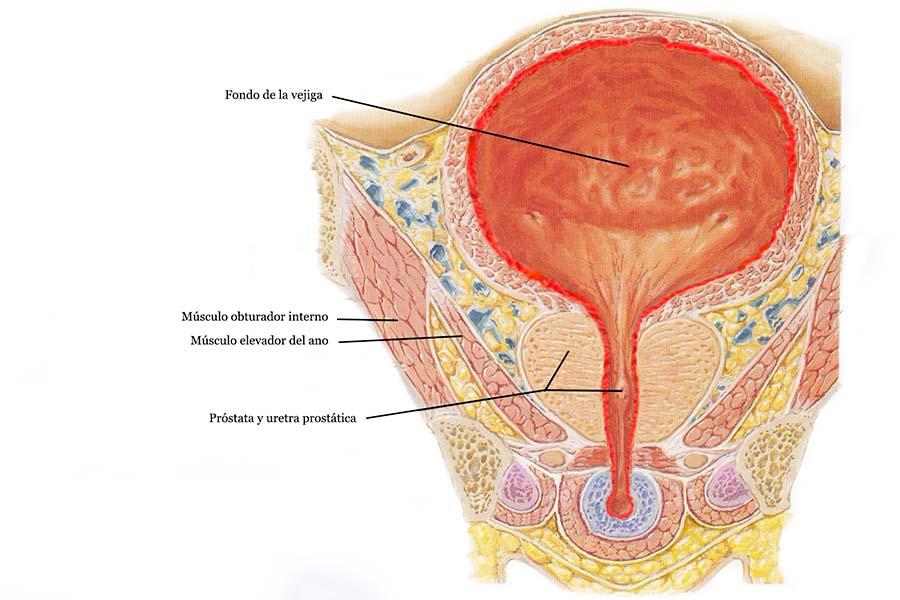 anatomia vejiga dolor